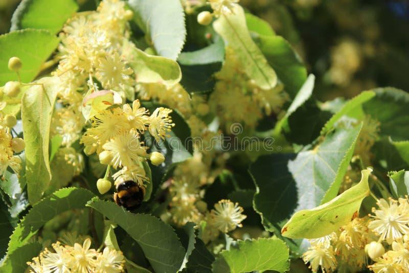 Liten humla på blommor för lindträd, ljust solljus royaltyfri fotografi