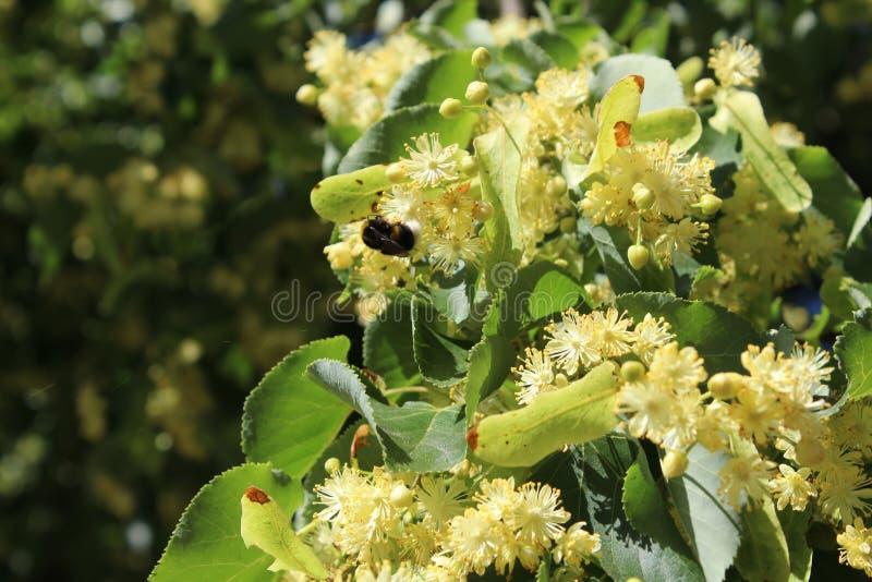 Liten humla på blommor för lindträd, ljust solljus arkivbild