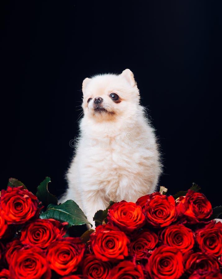 Liten hund, förälskelse och röda rosor till alla Valentin dagbegrepp med kopieringsutrymme Rosor och valp arkivbilder