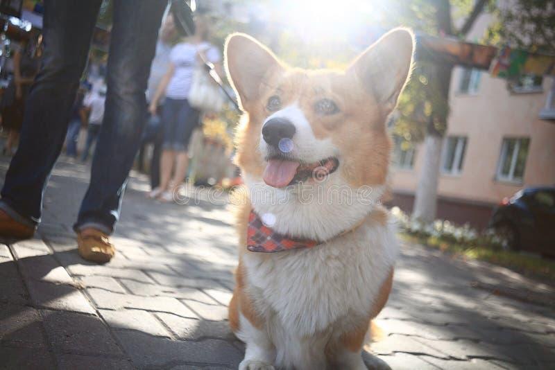 Liten hund för Corgi arkivbild