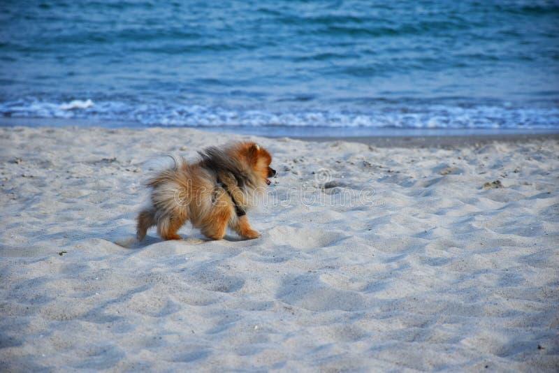 Liten hund f?r Pomeranian Spitz royaltyfri bild