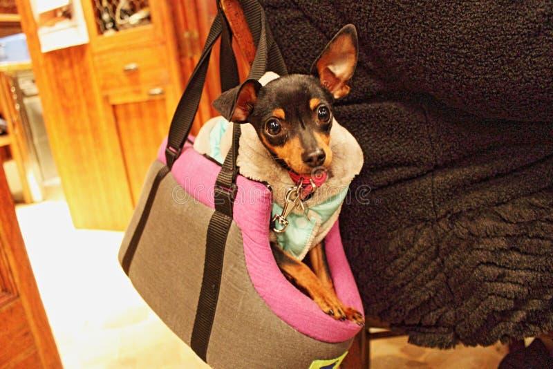 Liten hund i en gå påse det är nu trendigt att bära liten hundkapplöpning i en handväska för går som det verkar ibland även hunde royaltyfri bild