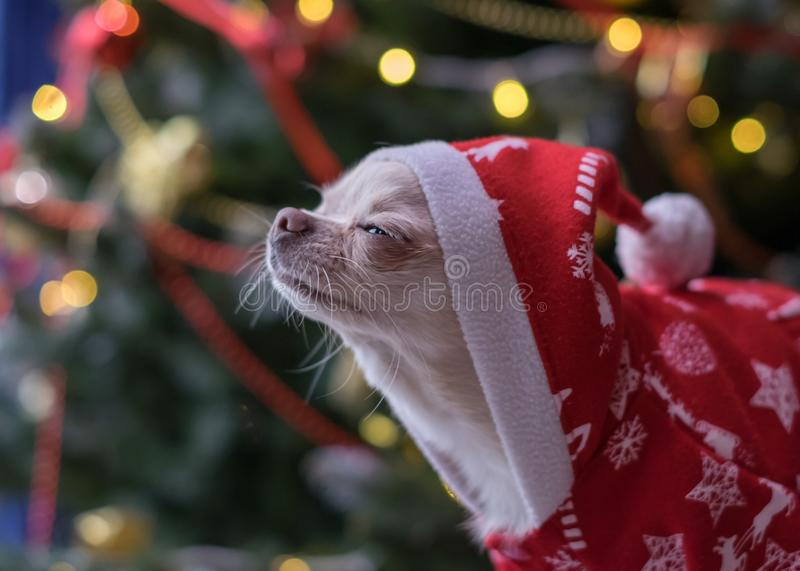 Liten hund i Santa Claus kläder som väntar på ett mirakel arkivbilder