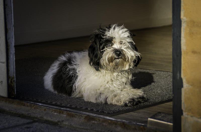 Liten hund som lägger i dörröppning royaltyfri foto