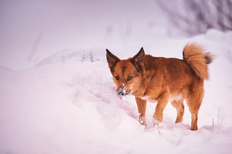 Liten hund som spelar i snön arkivfoton