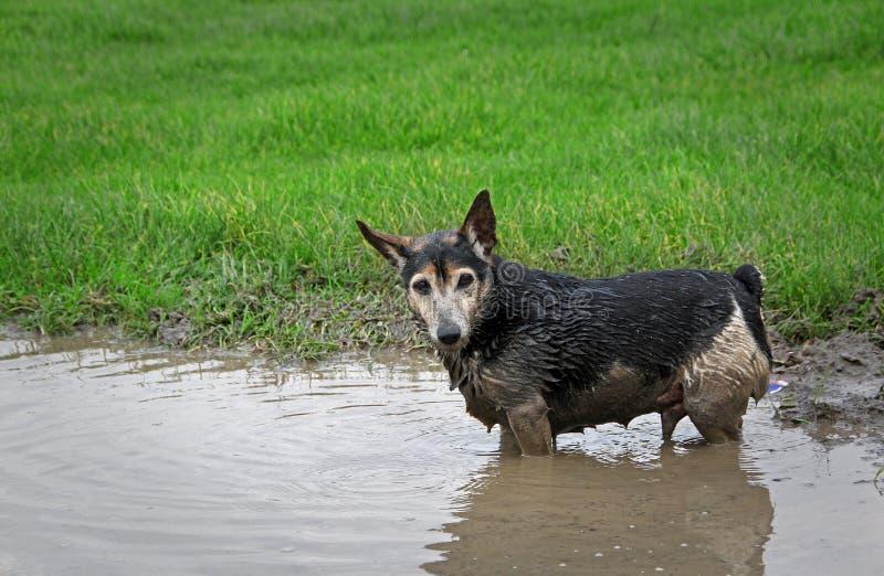 Liten hund som spelar i vatten royaltyfri bild