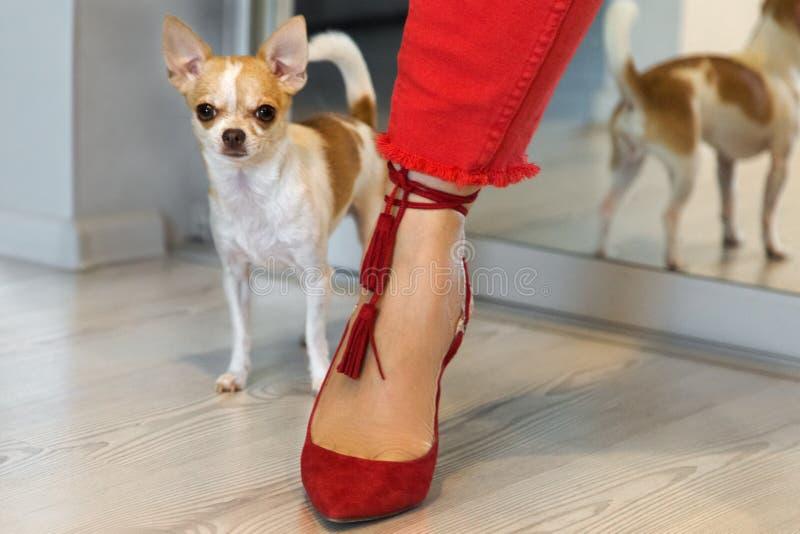 Liten hund som står det near kvinnliga benet i röda skor Kvinnligt ben i röda flåsanden arkivfoto
