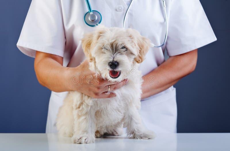Liten hund som undersöks på den veterinär- doktorn royaltyfri fotografi