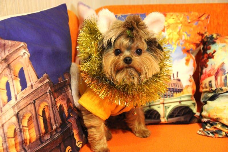 Liten hund York och julpynt royaltyfria bilder
