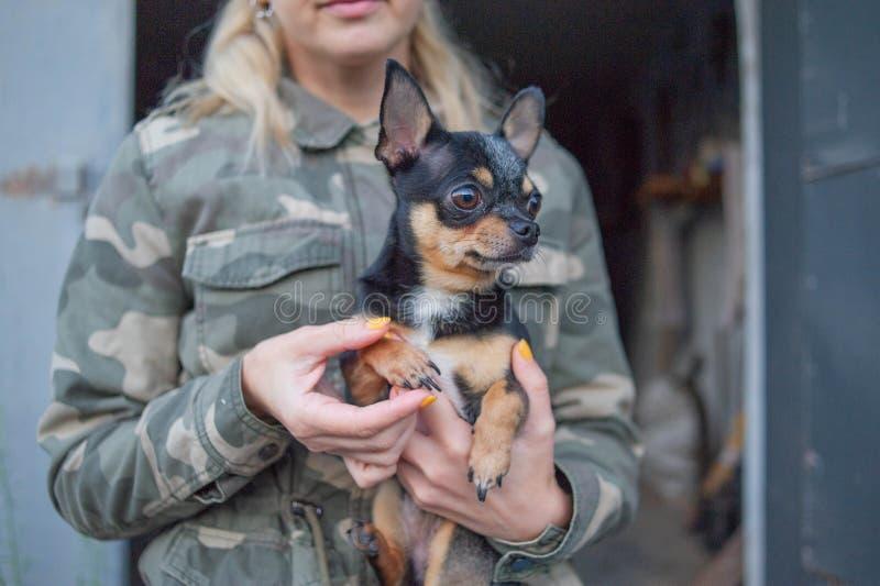 Liten hundchihuahua i flickans händer Chihuahuahund i armarna av hans husmor på bakgrunden av militära omslag arkivfoto
