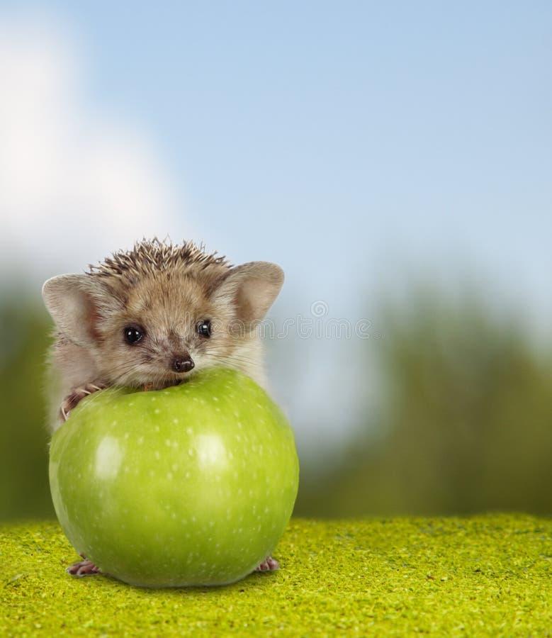 Liten igelkott på det gröna äpplet på naturbakgrund royaltyfri bild