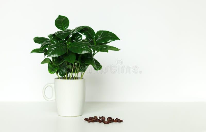 Liten inlagd växt för arabicakaffeträd i kopp med kaffebönor på vit bakgrund arkivbilder