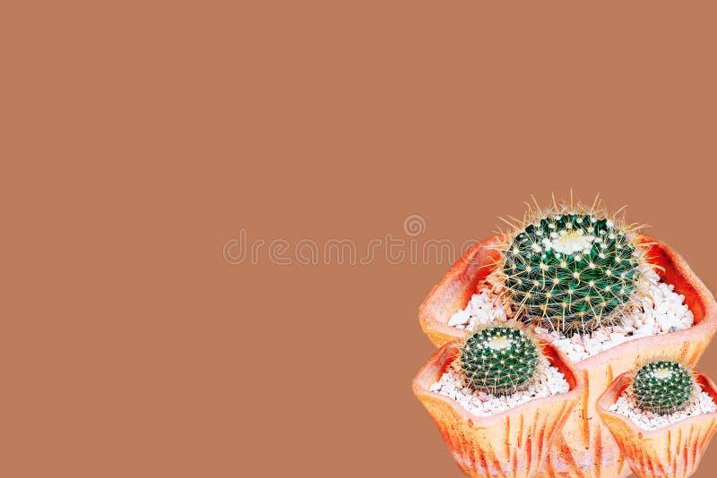 Liten kaktus i en blomkruka som isoleras på brunt royaltyfri bild