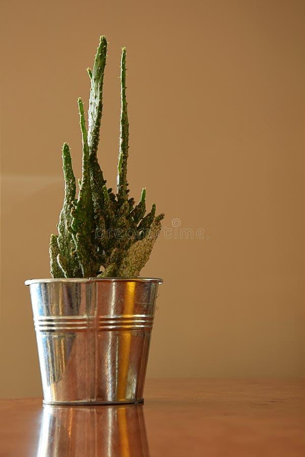 Liten kaktus i krukan royaltyfri bild