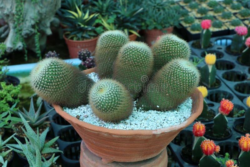 Liten kaktus som är dekorativ i terrakottakrukor bland växten arkivbilder