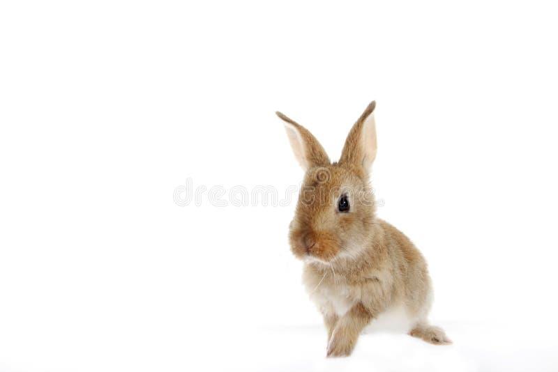 Liten kaninkanin på vit bakgrund fotografering för bildbyråer