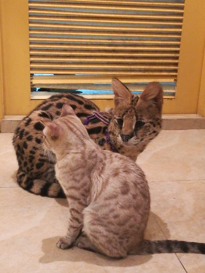 Liten katt för stor katt royaltyfri foto