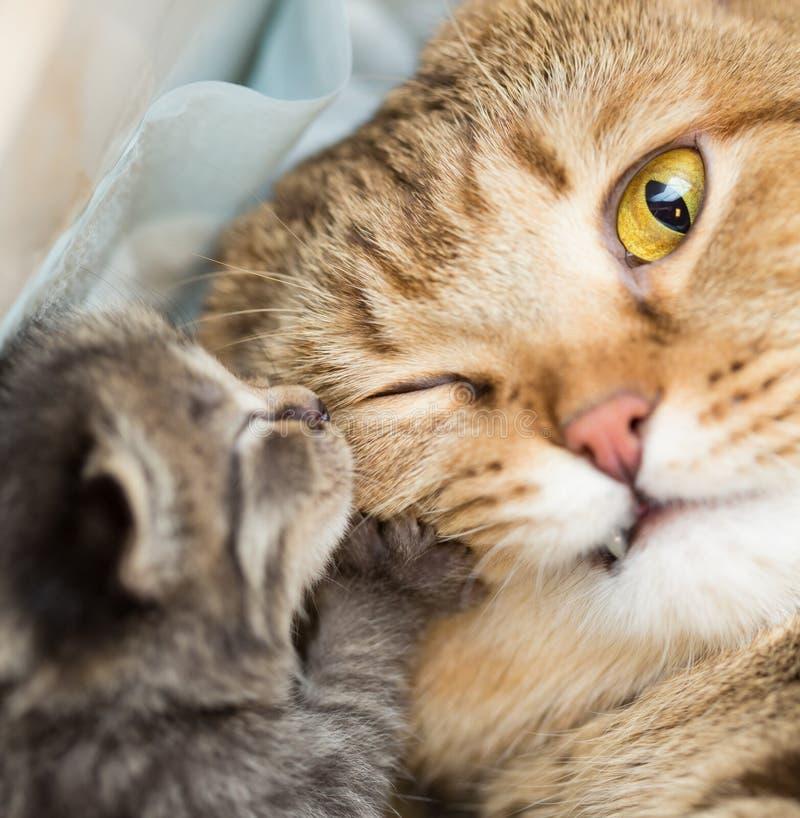 Liten kattunge med den chockade moderkatten royaltyfri fotografi