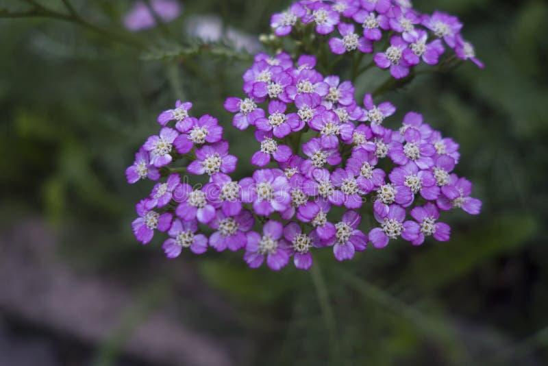 Liten klunga av purpurfärgade blommor i en grön utvändig äng, Yarrowvit-lilor Achillea millefolium var fotografering för bildbyråer