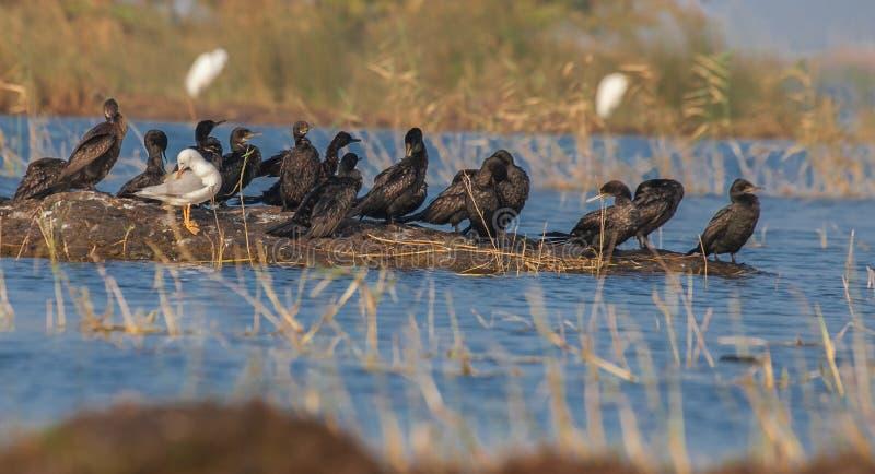 Liten kormoran med seagullen royaltyfri fotografi