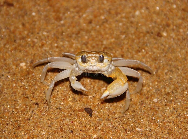 Liten krabba på en sandig strand royaltyfria bilder