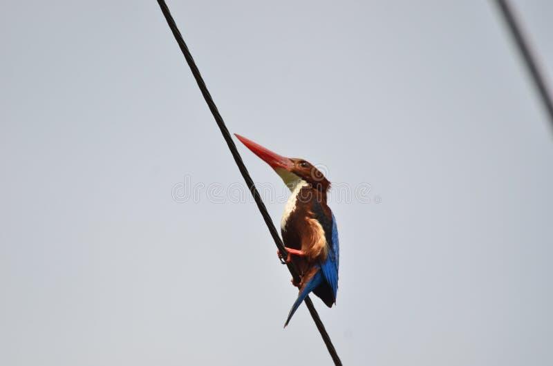 Liten kungsfiskare p? kabeln under solsken royaltyfria foton
