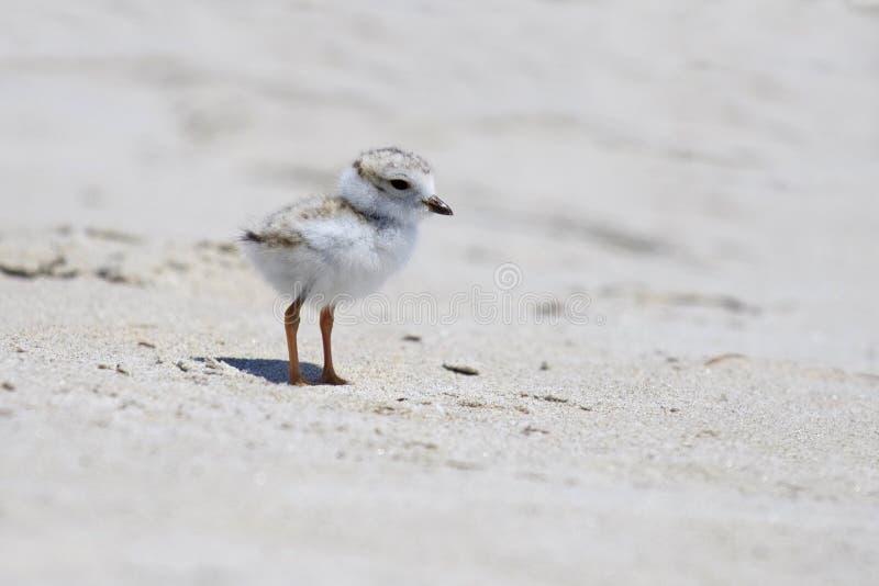 Liten leda i rör brockfågel royaltyfri foto
