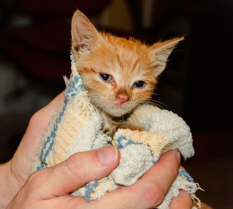 Liten ljust rödbrun katt i hand royaltyfri bild