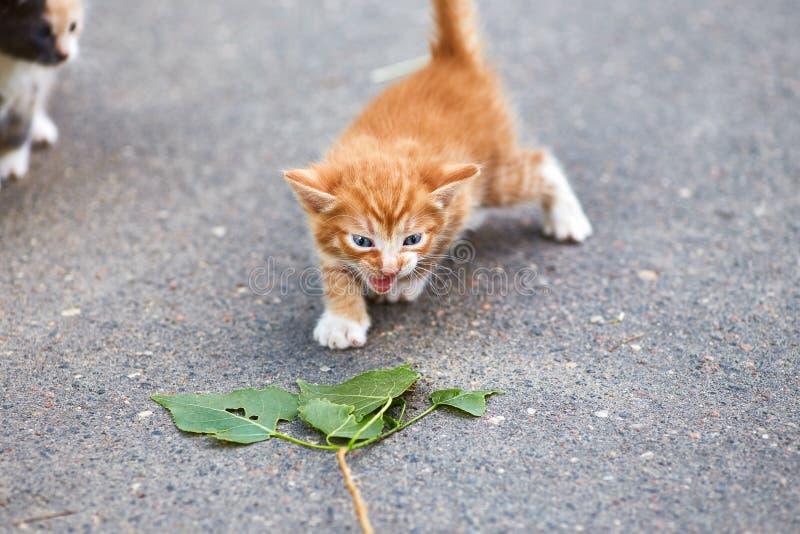 Liten ljust rödbrun kattunge på asfalt med gröna sidor fotografering för bildbyråer