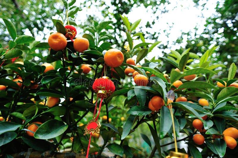 Liten lykta som hänger på kumquatträd arkivfoton