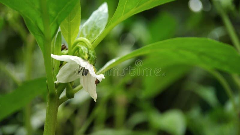 Liten makro för chiliväxtblomma som skjutas som tas från indiska trädgårdar royaltyfri bild