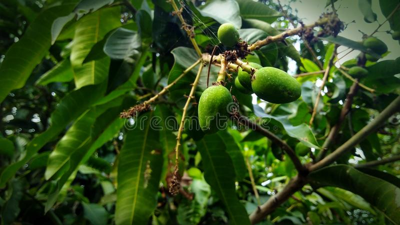 Liten mango för mangoträd och mangomucul royaltyfri foto
