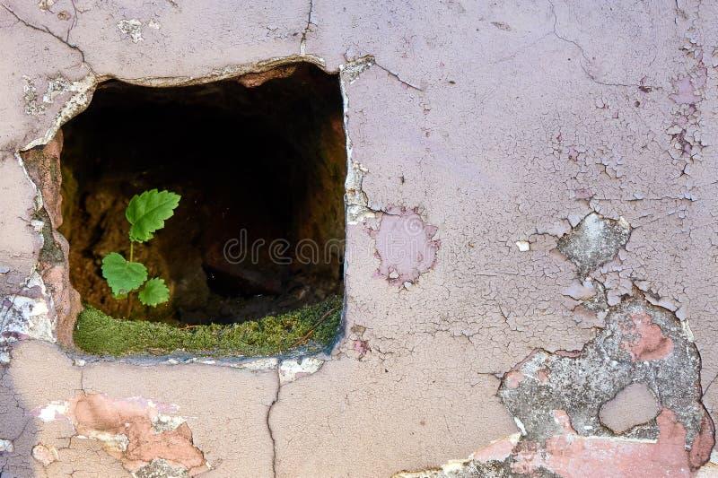 Liten men stark grön växt som växer inom stenväggen royaltyfria foton