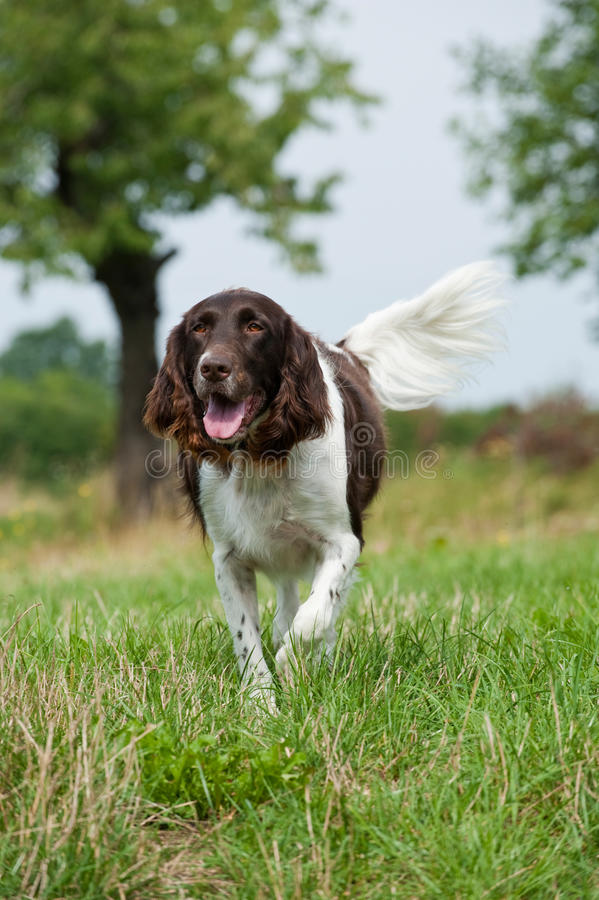 Liten munsterlanderhund royaltyfri bild
