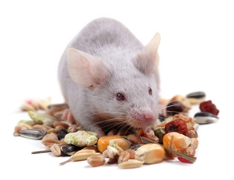 liten mus arkivbild