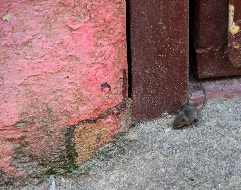 Liten mus på dörren arkivfoto
