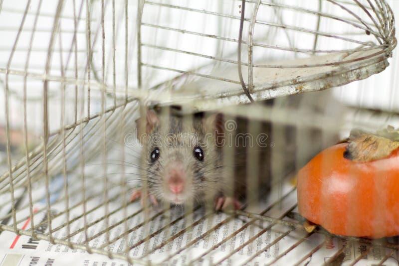 Liten mus som håller ögonen på i kameran i en bur royaltyfri foto