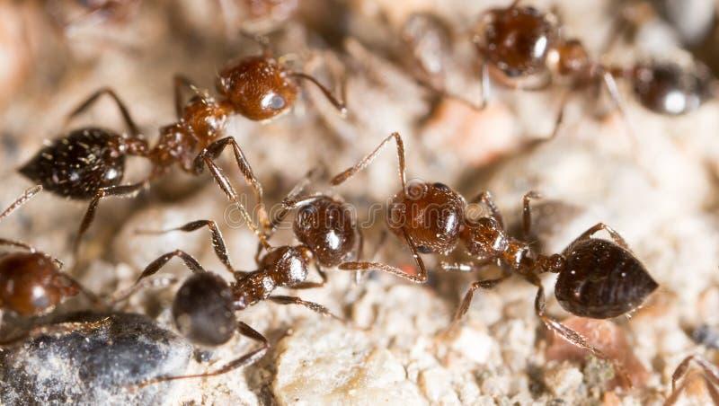 Liten myra i natur Makro arkivbilder
