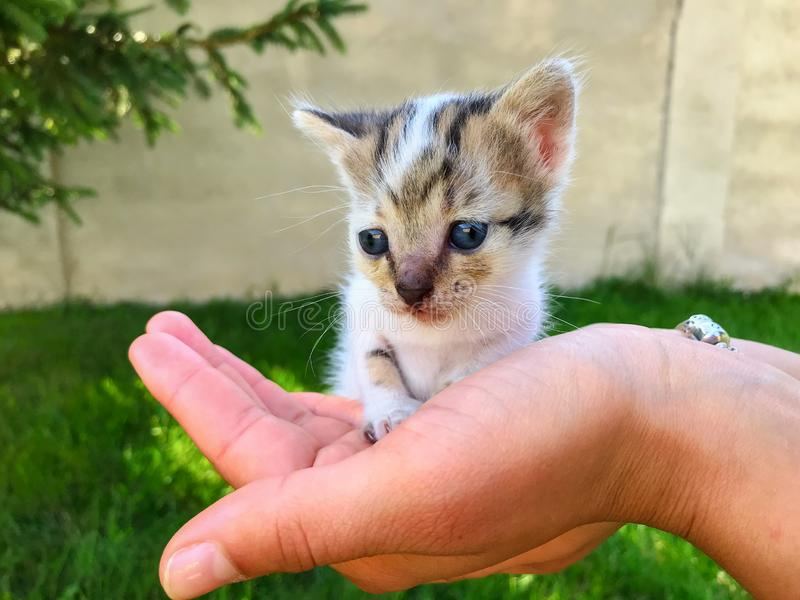 Liten nyfödd kattunge med blåa ögon i mänskliga händer royaltyfria foton