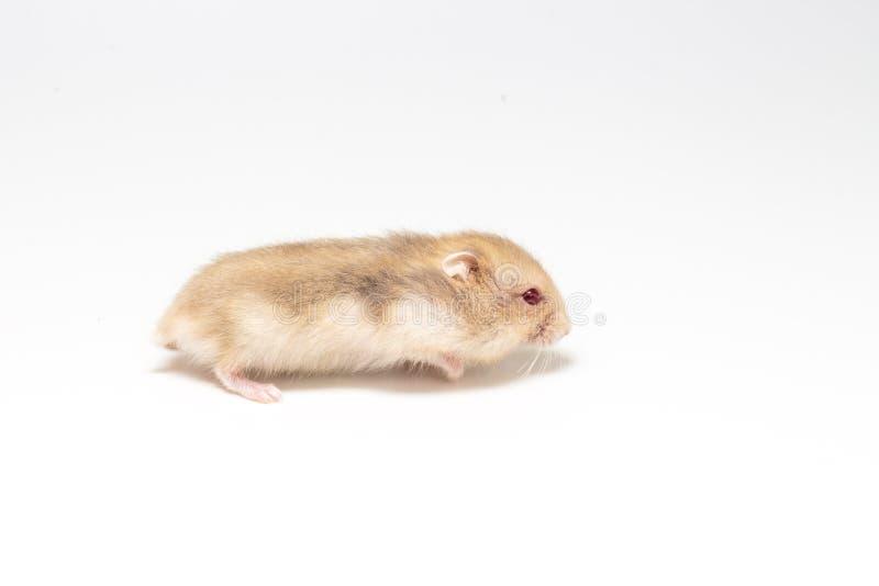 Liten och gullig hamster arkivbild