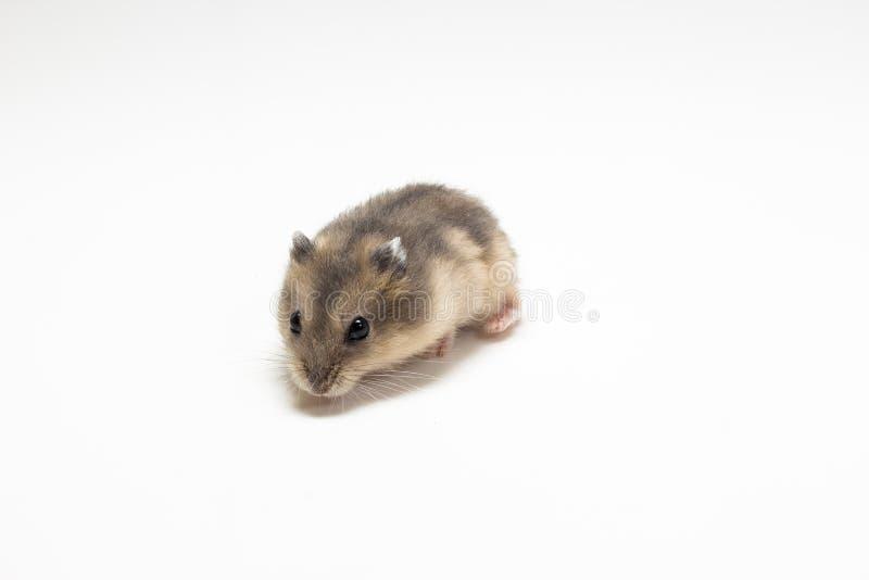 Liten och gullig hamster arkivfoto