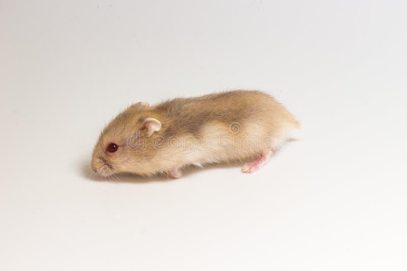 Liten och gullig hamster fotografering för bildbyråer