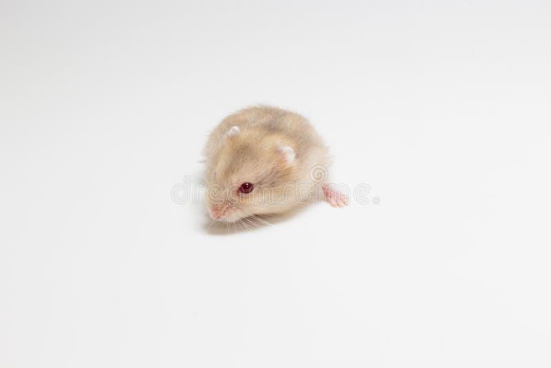 Liten och gullig hamster royaltyfri bild