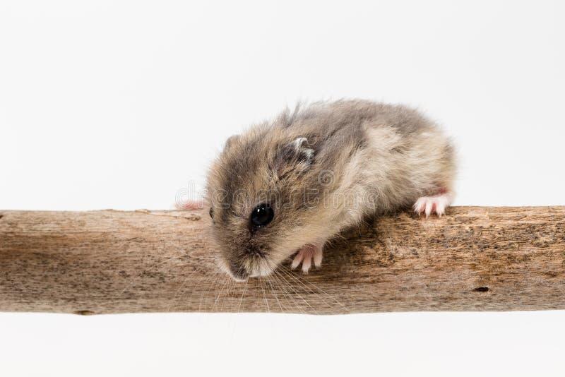 Liten och gullig hamster arkivbilder