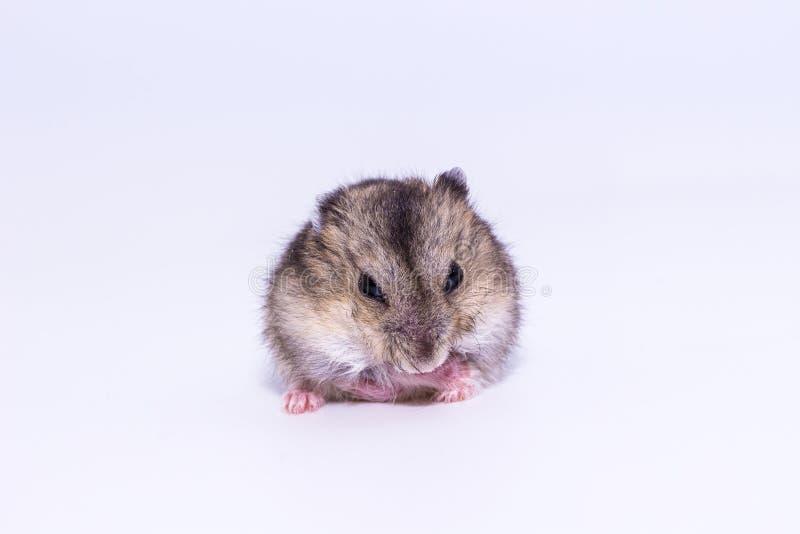 Liten och gullig hamster royaltyfri fotografi