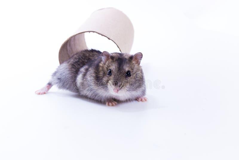 Liten och gullig hamster arkivfoton