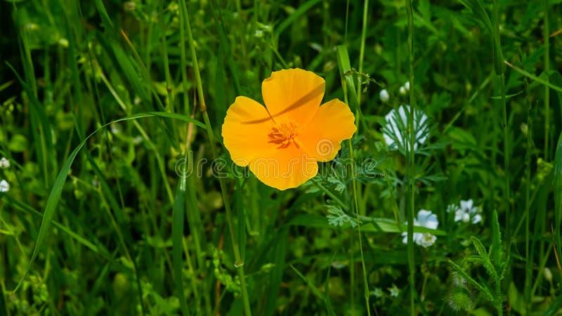 Liten orange trädgårdvallmo, Papaver, blomning på blomsterrabattmakroen, selektiv fokus, grund DOF royaltyfri fotografi
