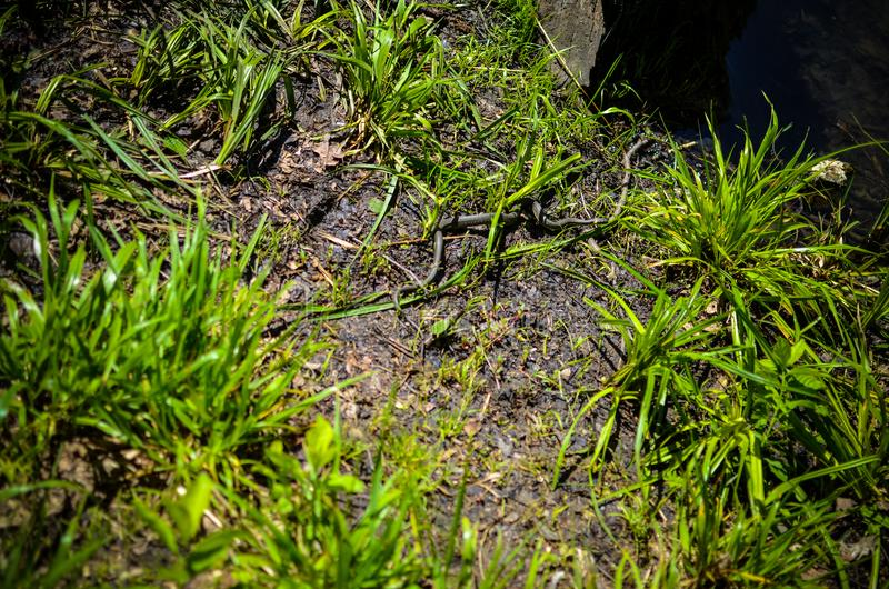 Liten orm eller huggorm i gräset arkivfoton