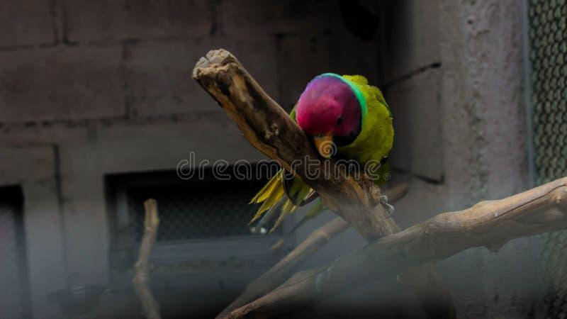Liten papegoja som klättrar upp på en trägren arkivfoton