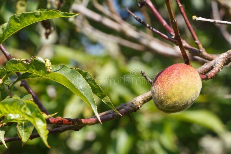 Liten persika som mognar på ett persikaträd royaltyfria foton